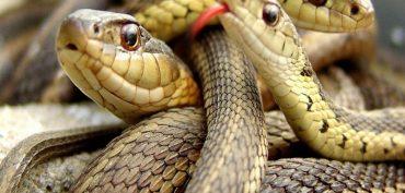 Nằm mơ thấy 3 con rắn đánh số gì? Giải mã giấc mơ 3 con rắn