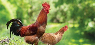 Nằm mơ thấy gà đánh đề con gì? Gà là số mấy?