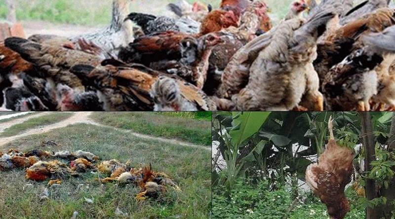 Nằm mơ thấy gà chết đánh đề con gì? Gà chết là số mấy?