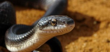 Nằm mơ thấy rắn đen đánh đề con gì? Rắn đen là số mấy?