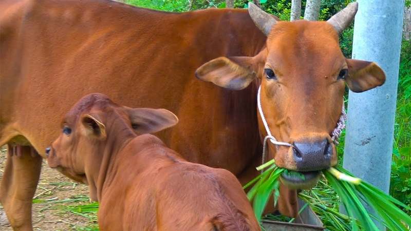 Nằm mơ thấy bò đánh đề con gì? Bò là số mấy?