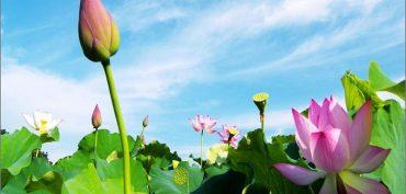 Nằm mơ thấy hoa sen đánh con gì? Hoa sen là số mấy?