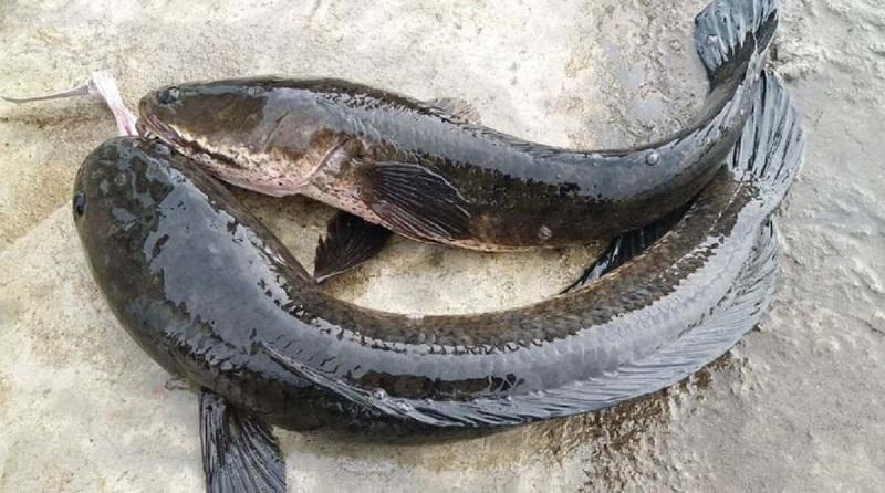 Nằm mơ thấy cá lóc đánh lô đề con gì? Cá lóc là số mấy?